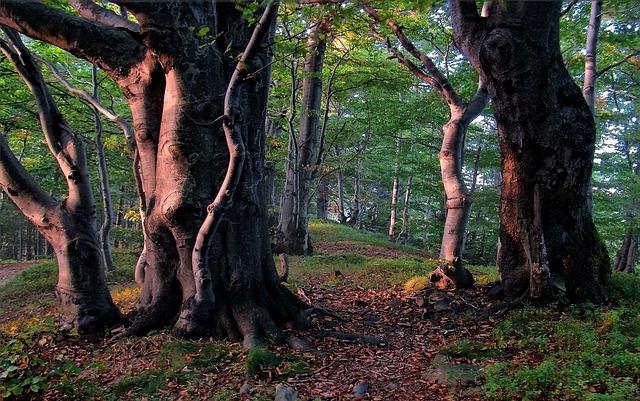 עץ אשור